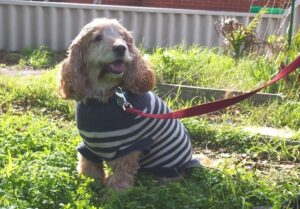 A cocker spaniel is sitting on the grass and wearing a blue and white striped knitted coat and a lead